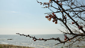 Apricot flowering on the seashore. Apricot buds come out on a branch on the background of the seashore Royalty Free Stock Image