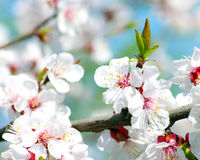 Apricot flowers Stock Photos