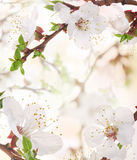 Apricot flowers Stock Image
