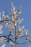 Apricot flowers against blue sky. Royalty Free Stock Photos