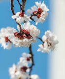 Apricot flowers. On a background of blue sky stock photos