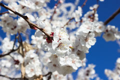 Apricot flowers background. Closeup view of apricot flowers Royalty Free Stock Images