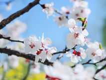 Apricot flowers. Beautiful springtime. Watercolor background. Blooming tree branches with white flowers. White sharp and defocused stock image