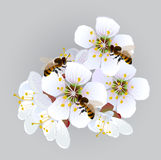 Apricot flowers with bees Royalty Free Stock Image