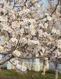 Apricot flowers blooming Royalty Free Stock Image