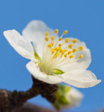 Apricot flowers blooming Royalty Free Stock Images