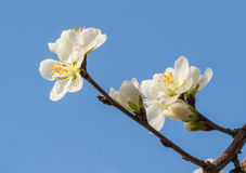 Apricot flowers blooming Stock Image