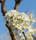 Apricot flowers blooming Stock Photos