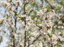 Apricot flowers blooming in spring. The almond trees in spring buds, pink, red, apricot flowers soon also come up to the branches, and then like a outbreak, ma Royalty Free Stock Images