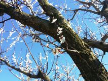 Apricot flowers . Royalty Free Stock Photo
