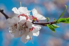 Apricot flowers on a blurred background royalty free stock photography