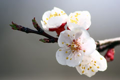 Apricot flowers on a branch. Stock Photos