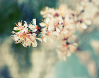 Apricot flowers on branch, selective focus, toned image Royalty Free Stock Images