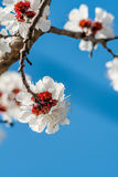 Apricot flowers closeup. Against a blue sky stock images