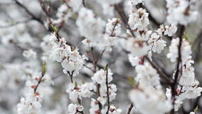 Apricot flowers closeup and snowfall stock footage