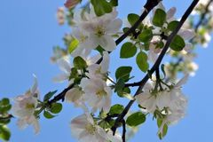 Apricot Flowers. And delicate petals were opened. Reliable bees from flower to flower in romp stock photo