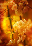 Apricot flowers in full bloom Royalty Free Stock Photos