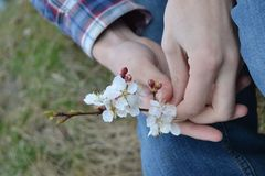 apricot flowers in the hands of a man. Spring flowers royalty free stock images