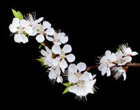 Apricot flowers isolated Royalty Free Stock Photos