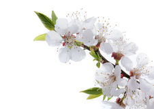 Apricot flowers isolated on white background Royalty Free Stock Photo