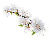Apricot flowers isolated on white background Stock Photo