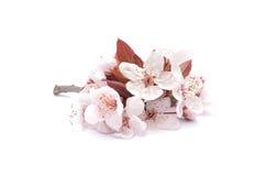 Apricot flowers Stock Photo