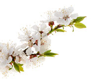 Apricot flowers isolated on white background Stock Photos