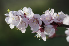 Apricot flowers. Macro detail of apricot flowers with blurry background Stock Photos