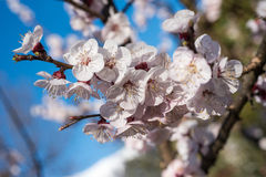 Apricot flowers Stock Images