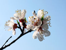Apricot flowers sky Royalty Free Stock Images