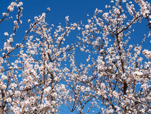 Apricot flowers in the spring Royalty Free Stock Photo