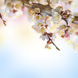 Apricot flowers in spring Stock Photo