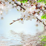 Apricot flowers in spring Stock Images