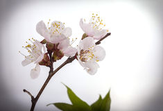 Apricot flowers - spring flowers Royalty Free Stock Image