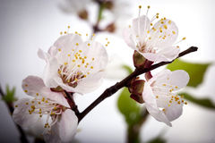 Apricot flowers - spring flowers Royalty Free Stock Photography