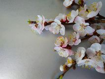 Apricot flowers on a steel royalty free stock images