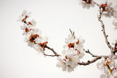 Apricot flowers Royalty Free Stock Image