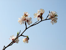 Apricot flowers tree Stock Photo