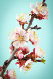 Apricot flowers on turquoise background Stock Image