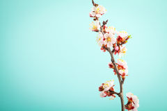 Apricot flowers on turquoise background Royalty Free Stock Images