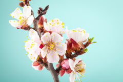 Apricot flowers on turquoise background Royalty Free Stock Photos