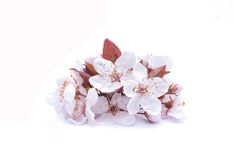 Apricot flowers Royalty Free Stock Photos