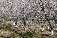 Apricot forest royalty free stock image