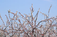 Apricot forest stock images