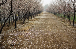Apricot forest Stock Photos