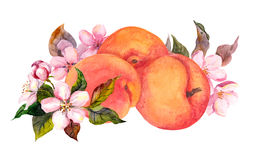 Apricot fruit and blossom flowers. Water color Stock Photography