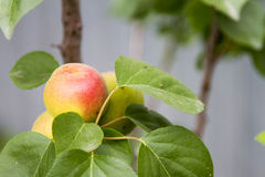 Apricot fruit on a branch Royalty Free Stock Photos