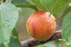 Apricot fruit on branch with leaves covered by water drops after rain Royalty Free Stock Photos