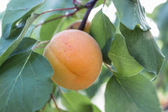 Apricot fruit on a branch. Ripe apricots on the branch Stock Photography