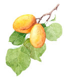 Apricot fruit branch, Watercolor illustration Royalty Free Stock Photo